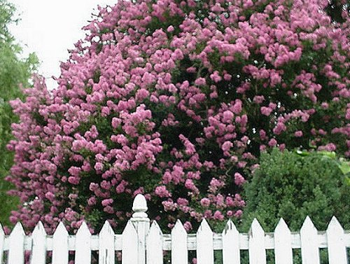 White Picket Fence With a Magnolia Tree Behind